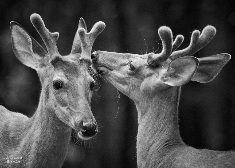 Deer Whispers